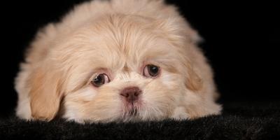 Les Crins & Truffes de Soie - Chiots Shih-Tzu adoptés